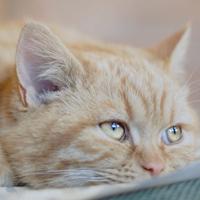 gattino che vomita giallo