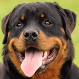 rottweiler comportamento e caratteristiche della razza canina