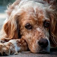 la leishmaniosi nel cane